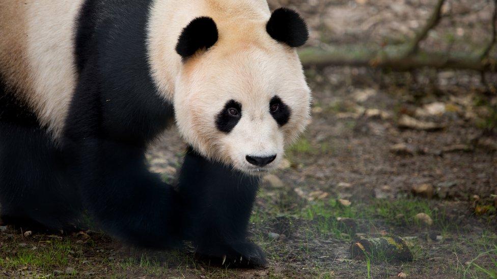 Giant Panda Yang Guang Given Electric Fence Shock At Edinburgh Zoo Bbc News