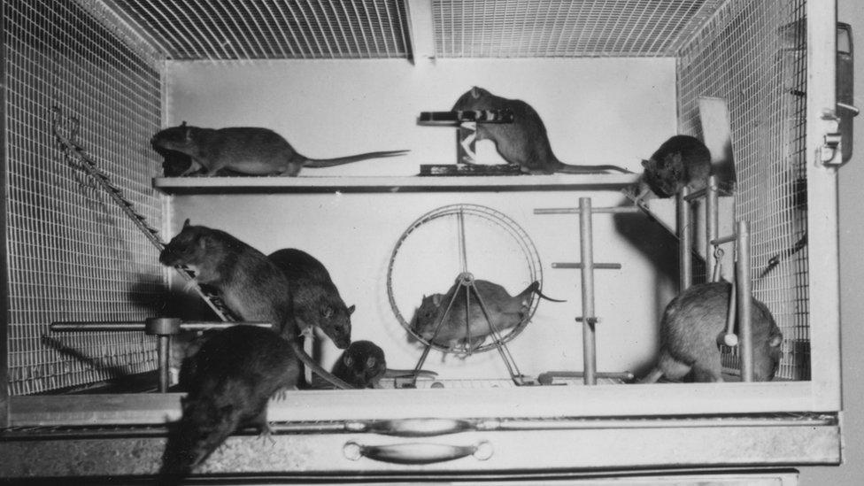 Ratas en una jaula
