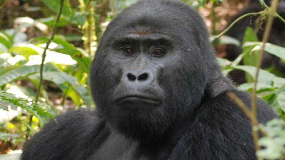 有名なシルバーバック・ゴリラ、密猟者に殺される ウガンダ - BBCニュース
