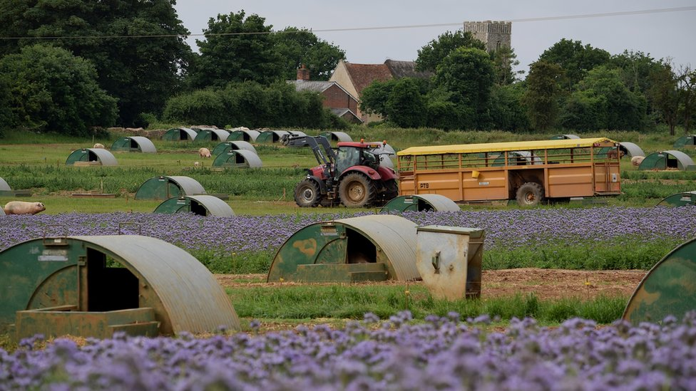 Suffolk pig farm hopes flowers will feed bumblebees