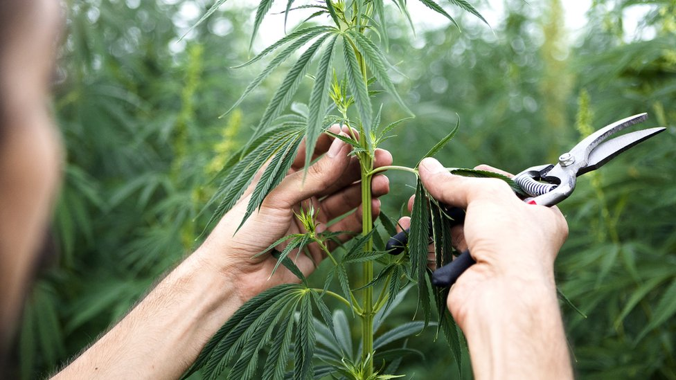 Hague's call to legalise cannabis rejected by government