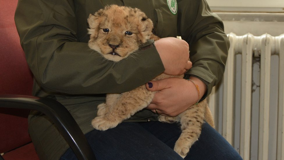 A staff of Turkey's Directorate General for Nature Conservation and National Parks holds a smuggled lion cub