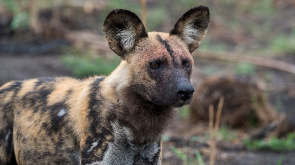 Stock image of an African Wild Dog