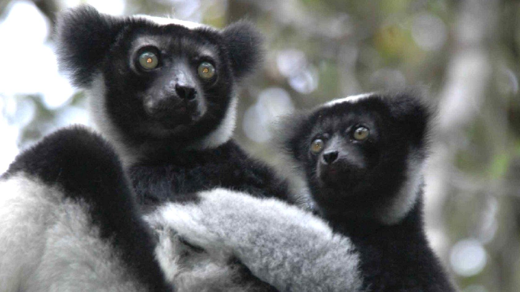 Indri lemur and baby