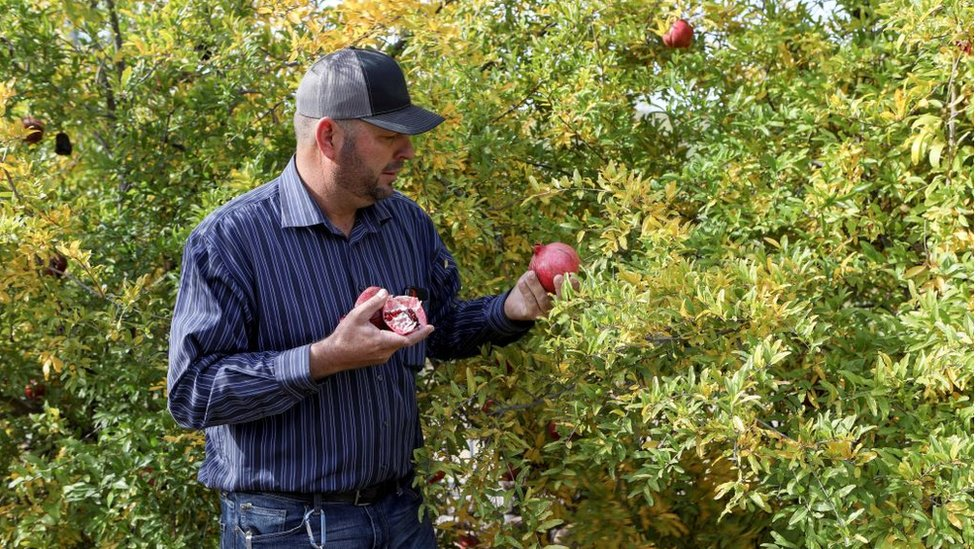 Un miembro de la familia LeBarón recolecta fruta