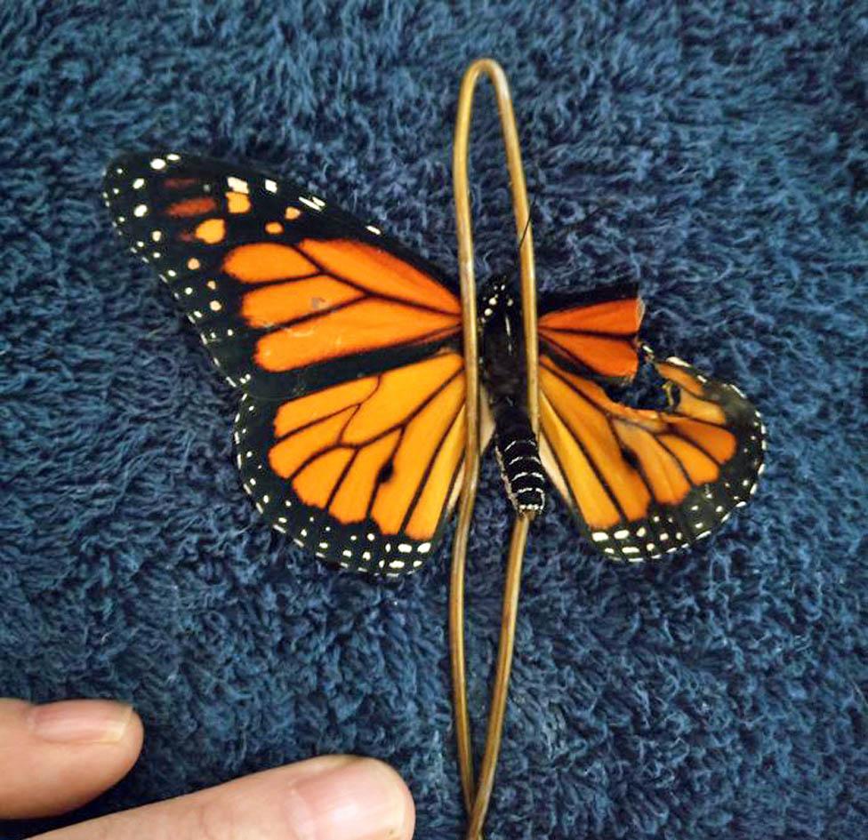 Leptir je fiksiran pred operaciju