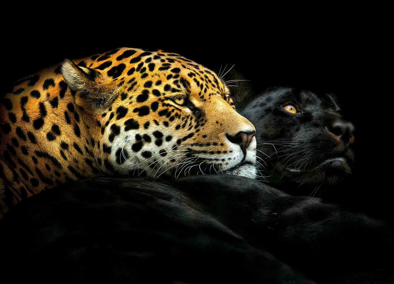 Un leopardo y un puma