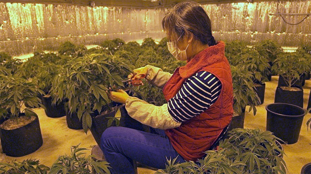 A Chinese worker trims a marijuana plant at Aaron's cannabis farm in Oklahoma