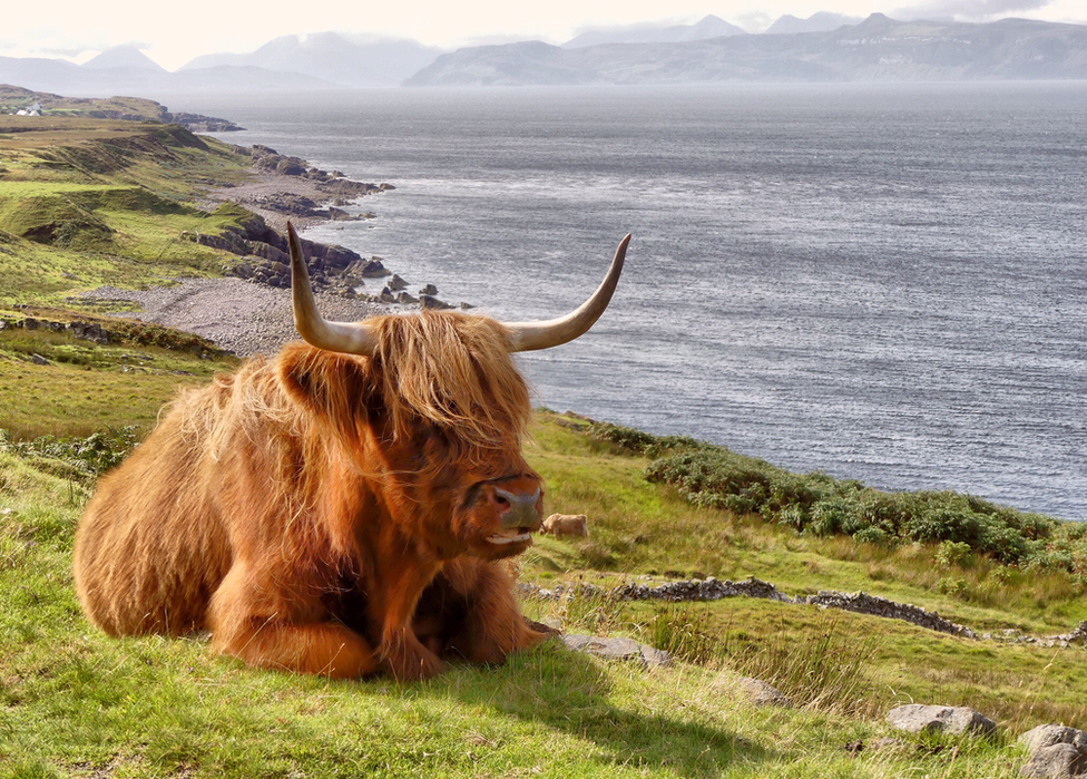 A highland cow sits by the coast