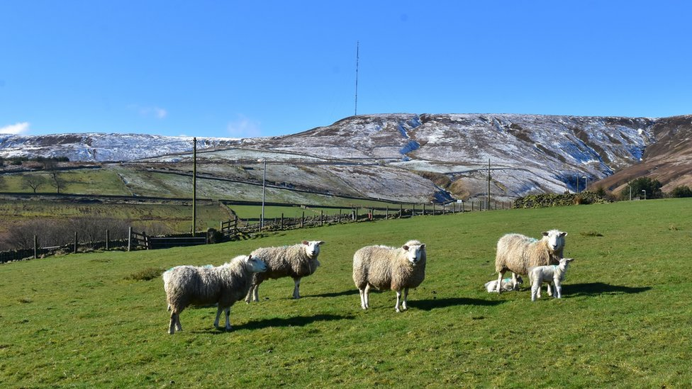 Sheep and lambs against the snowy backdrop of Holme Moss.