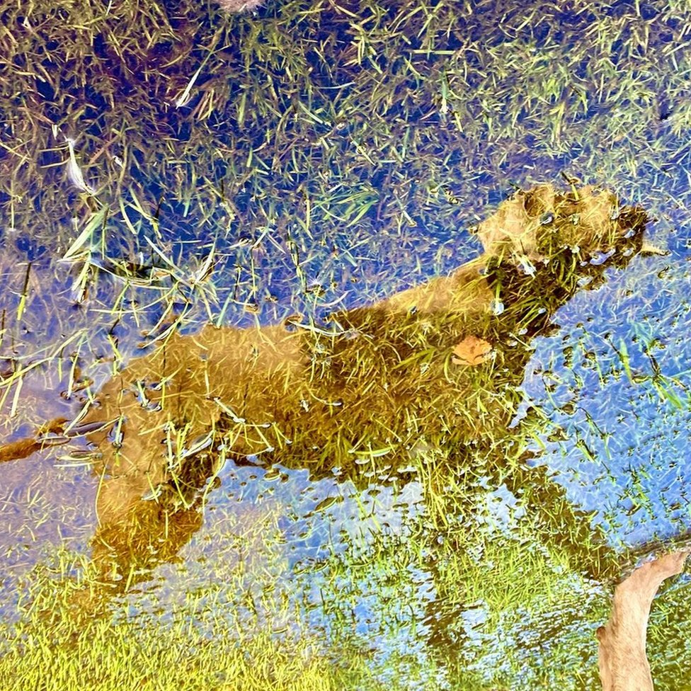 Dog reflected in puddle