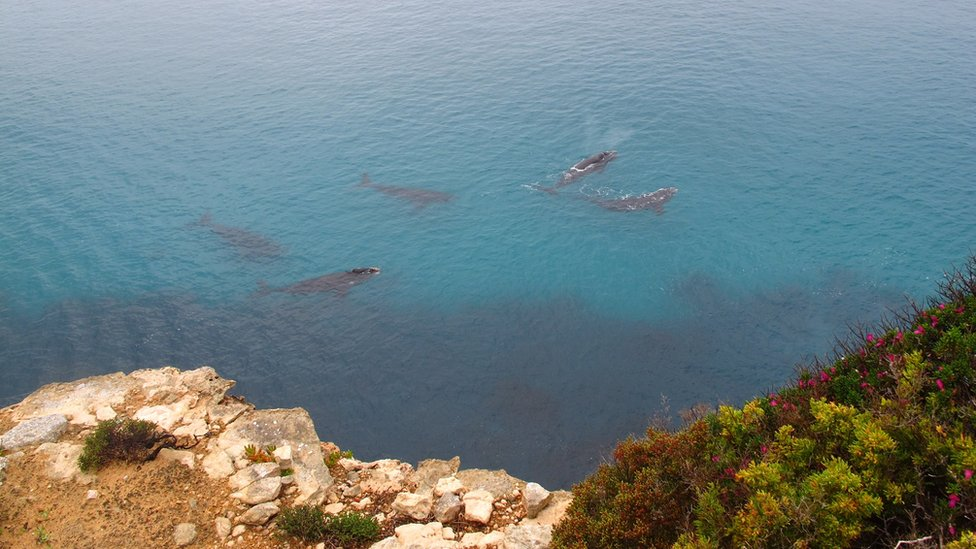 A pod of southern right whales spotted off the sheers cliffs of the Great Australian Bight