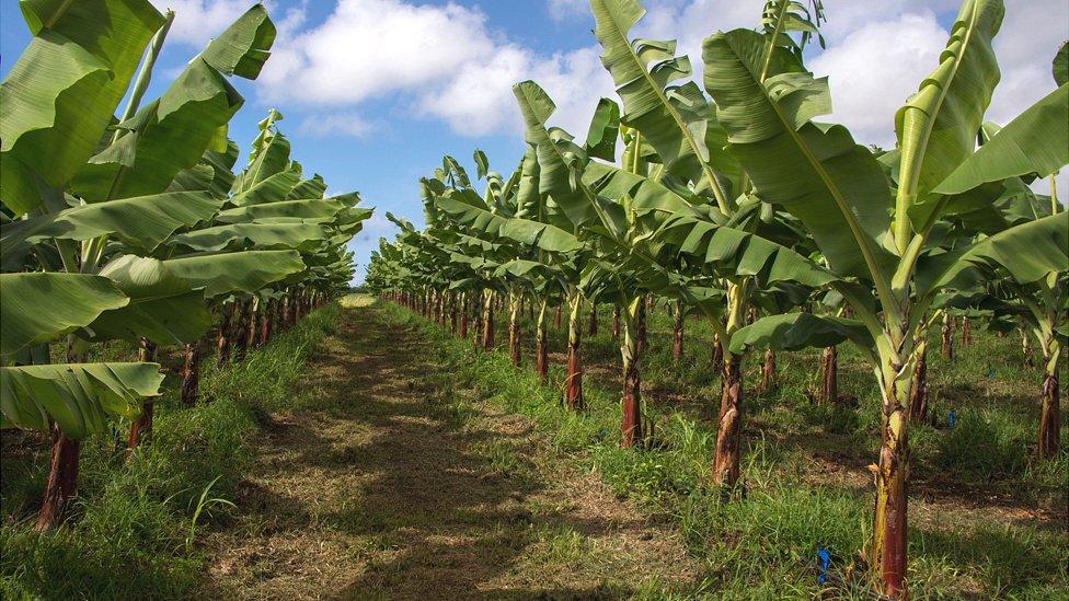 Guadeloupe banana plantation, 10 Apr 18