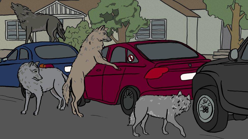 lobos alrededor de autos Uber