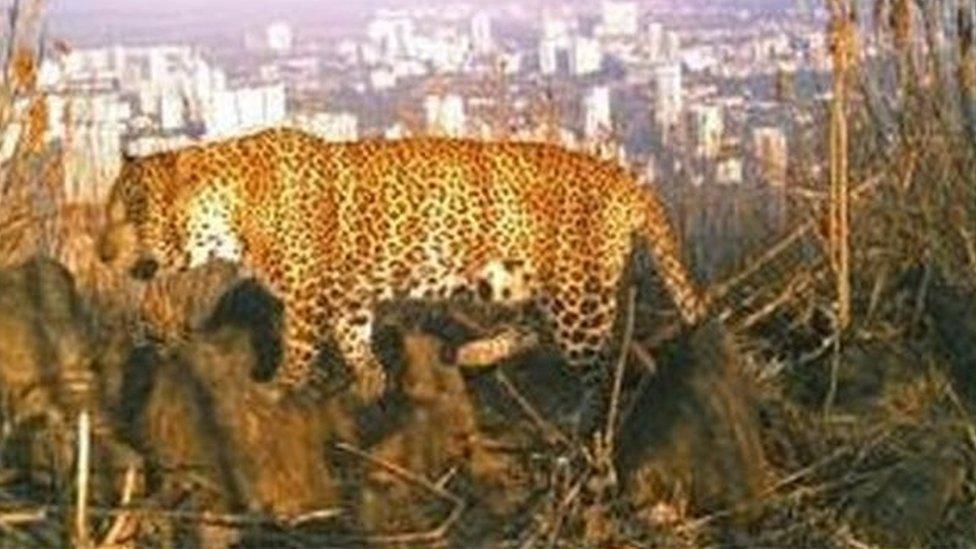 Lebih 40 ekor macan tutul hidup di hutan Mumbai.