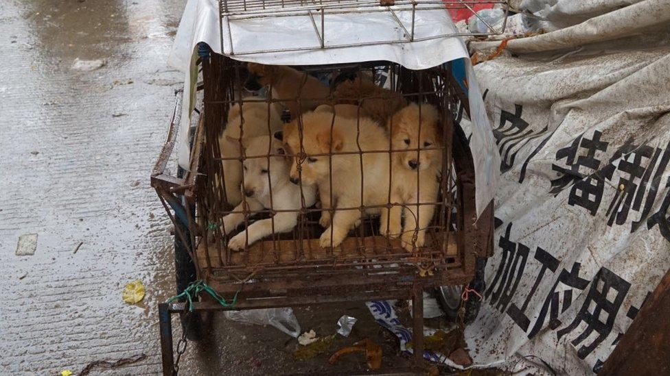 جراء صغيرة في قفص في سوق بيع لحوم الكلاب في الصين، حيث يعتقد أن الفيروس بدأ في التفشي من أحد هذه الأسواق التي تضم حيوانات حية