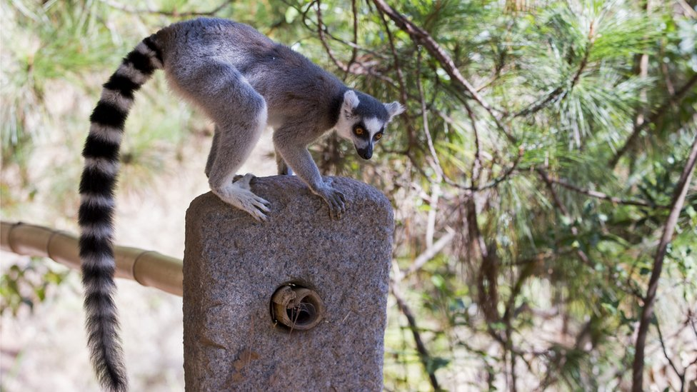 All species of lemur are endangered