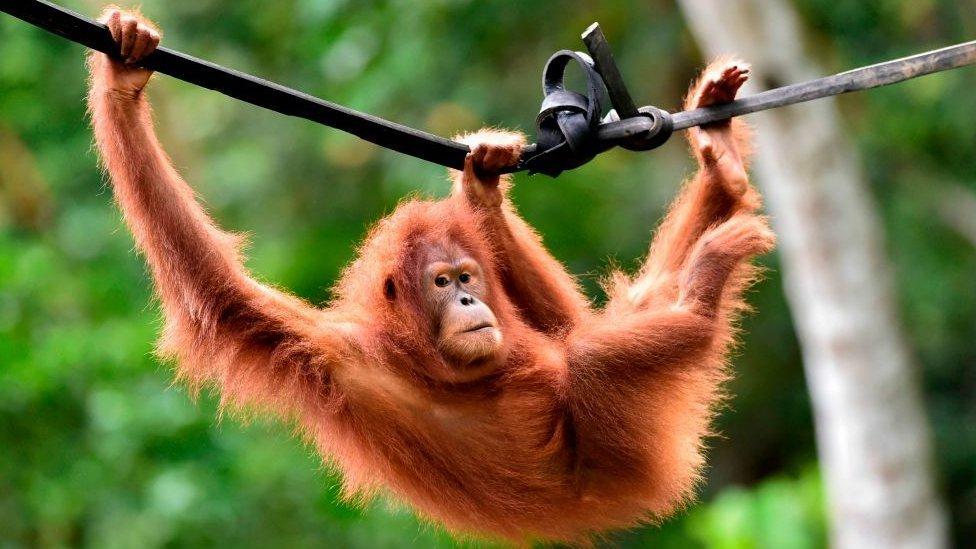 Orangután de Sumatra.