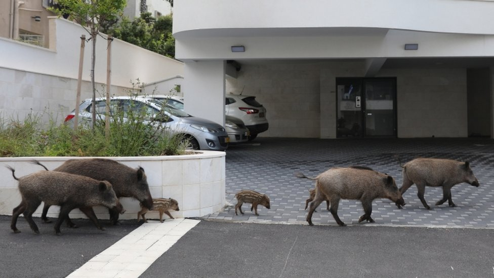 Some groups feed the boar, but others want them to be removed