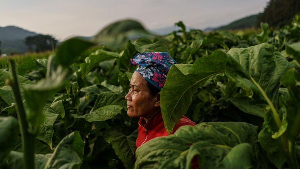Una trabajadora migrante tailandesa rodeada de plantas de tabaco en una granja de Corea del Sur