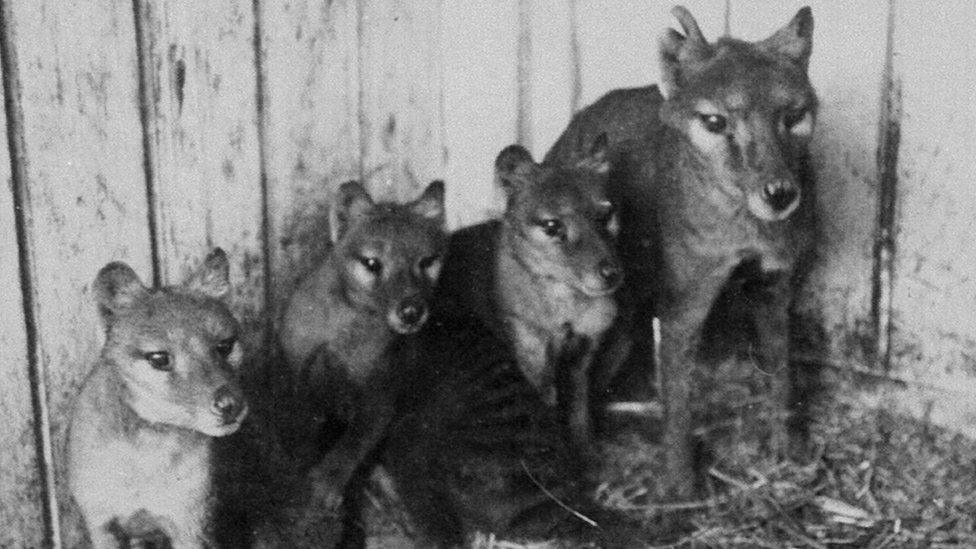 Tasmanian Tigers Were In Poor Genetic Health Study Finds Bbc News