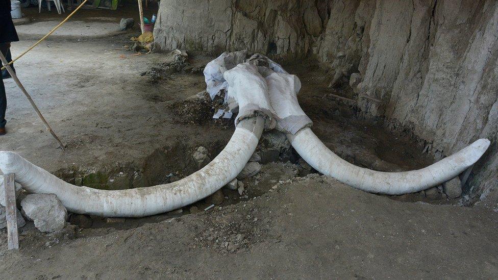 Colmillos de mamut hallados en México