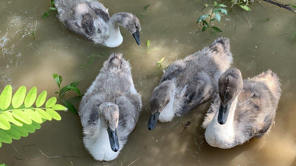 Mladunci labuda na Savi, 2020