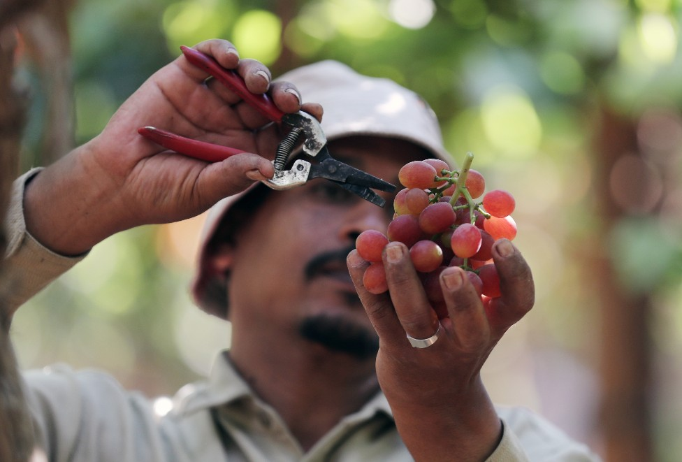 فلاح مصري يقطف العنب في أحد كروم قرية الخطاطبة في المنوفية، للتصدير إلى الاتحاد الأوروبي.