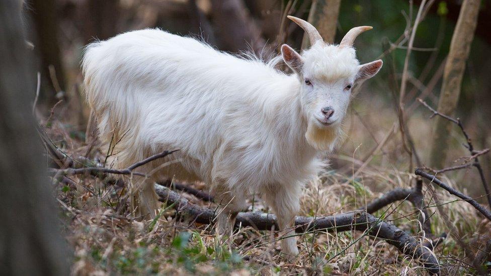 Shenkin IV - the new regimental goat