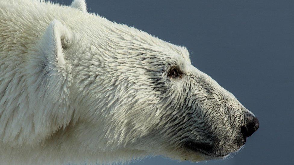 Polarni medved