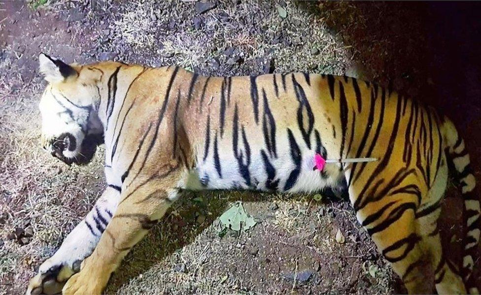 Ubijena tigrica
