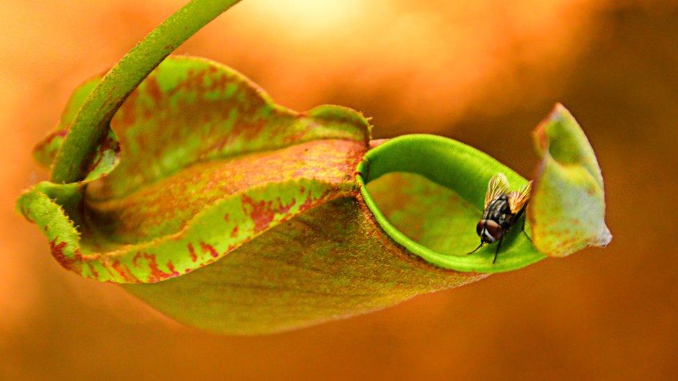 Planta jarro con un insecto rondando en la entrada