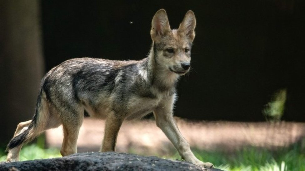 A three-month-old Mexican wolf (Canis lupus baileyi) is seen at the Coyotes Zoo in Mexico City on July 10, 2018.