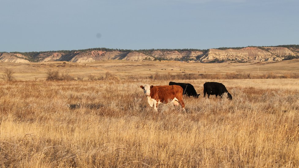 Cattle just outside of Colstrip
