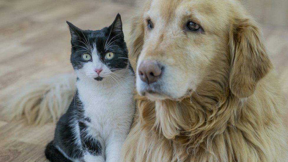 labrador i mačka