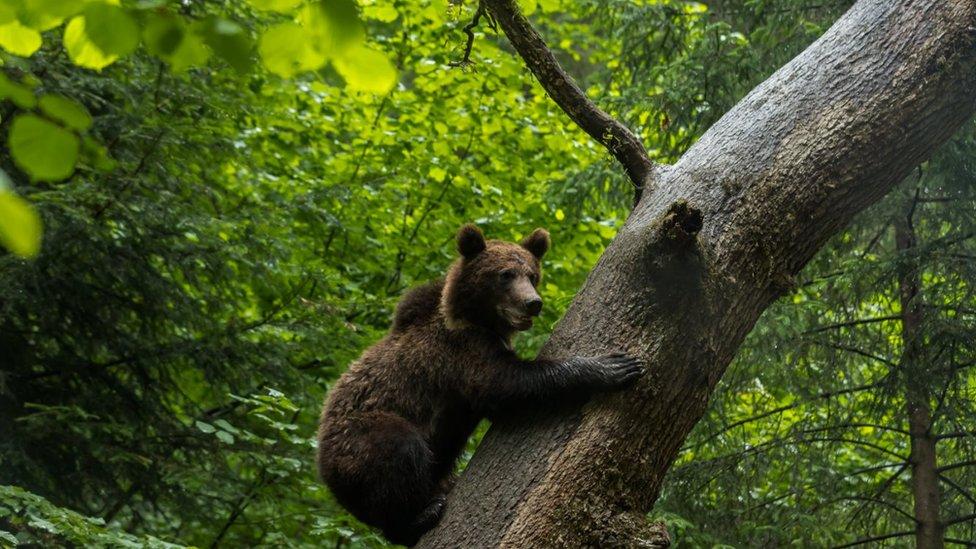 A bear in Zabala in Covasna County in Romania
