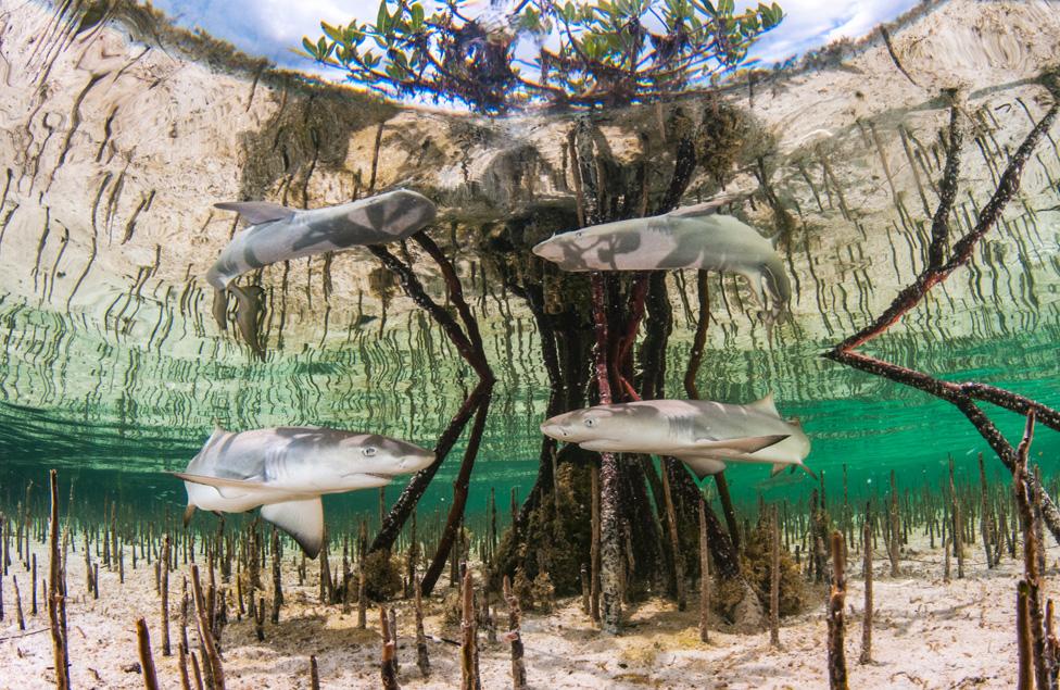 巴哈馬地區紅樹林下的檸檬鯊魚寶寶