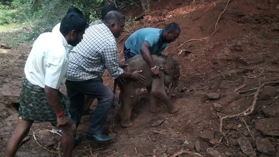 Sarathkumar and others move the calf up the hill