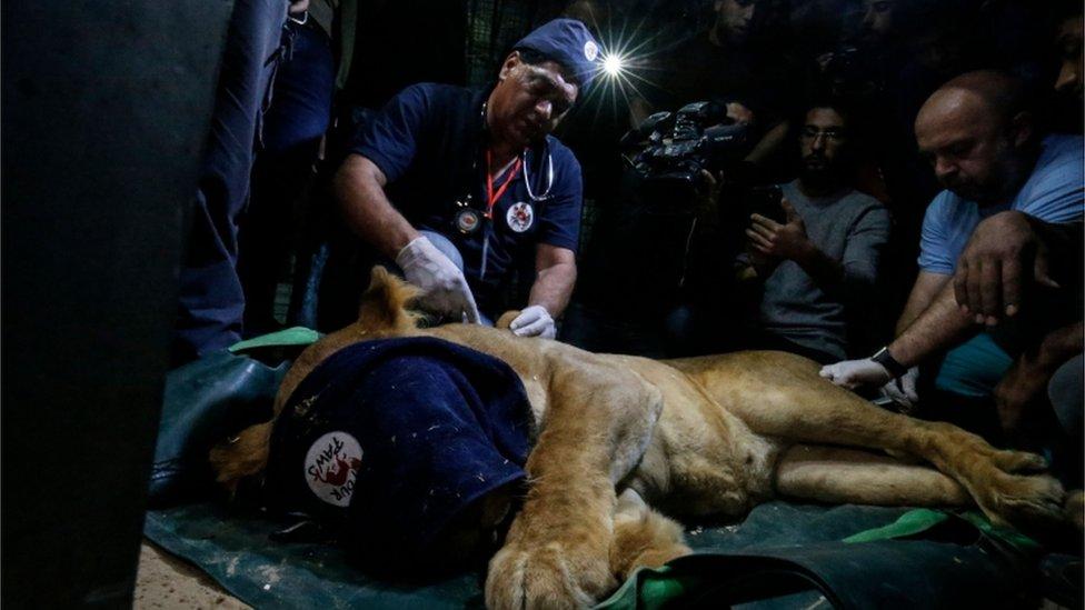 Veterinari su dali sedativ životinjama pre nego što su ih prebacili iz Zoo vrta, april 2019.