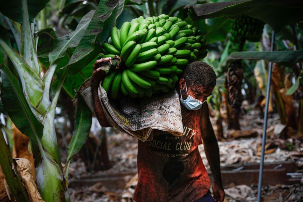 Un trabajador de una platanera en La Palma carga un racimo de plátanos antes de la erupción del volcán