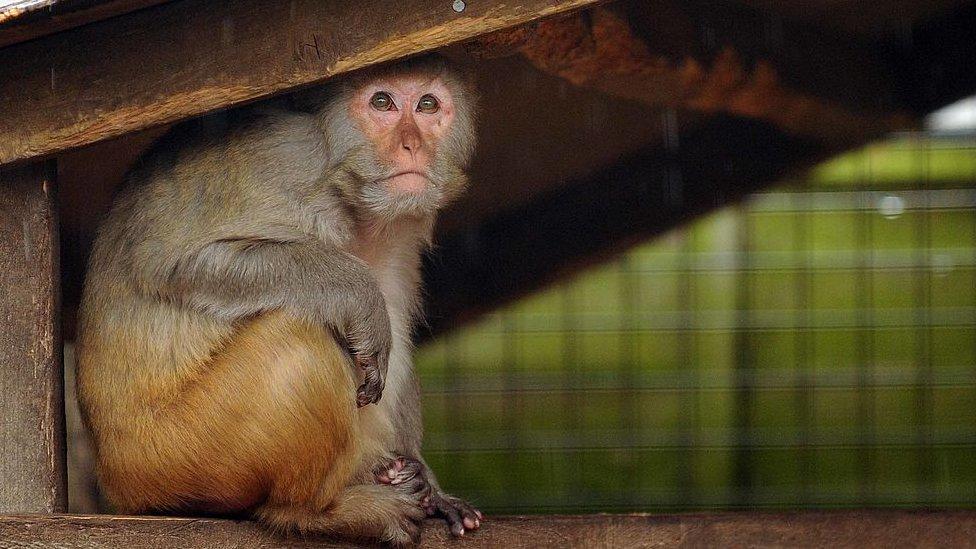 Macaco Rhesus en Reino Unido.