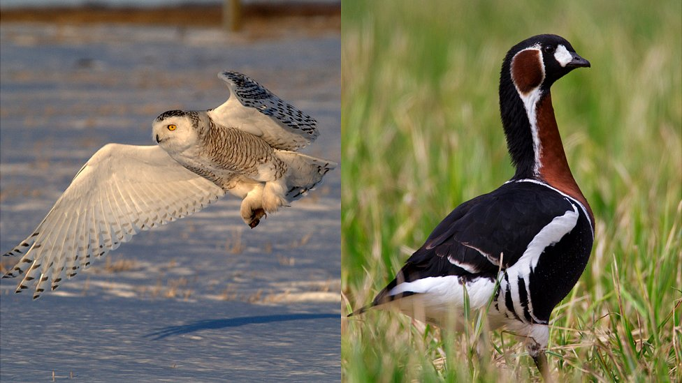 Snowy owl (L) and red-breasted goose, file pics