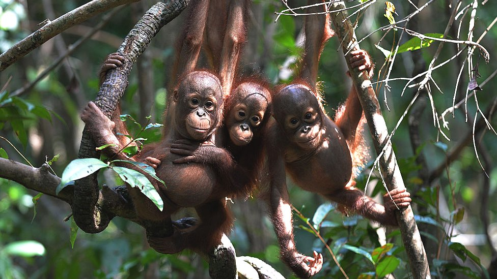 picture taken on August 4, 2016 shows three orphaned orang-utan at the International Animal Rescue centre outside the city of Ketapang in West Kalimantan.