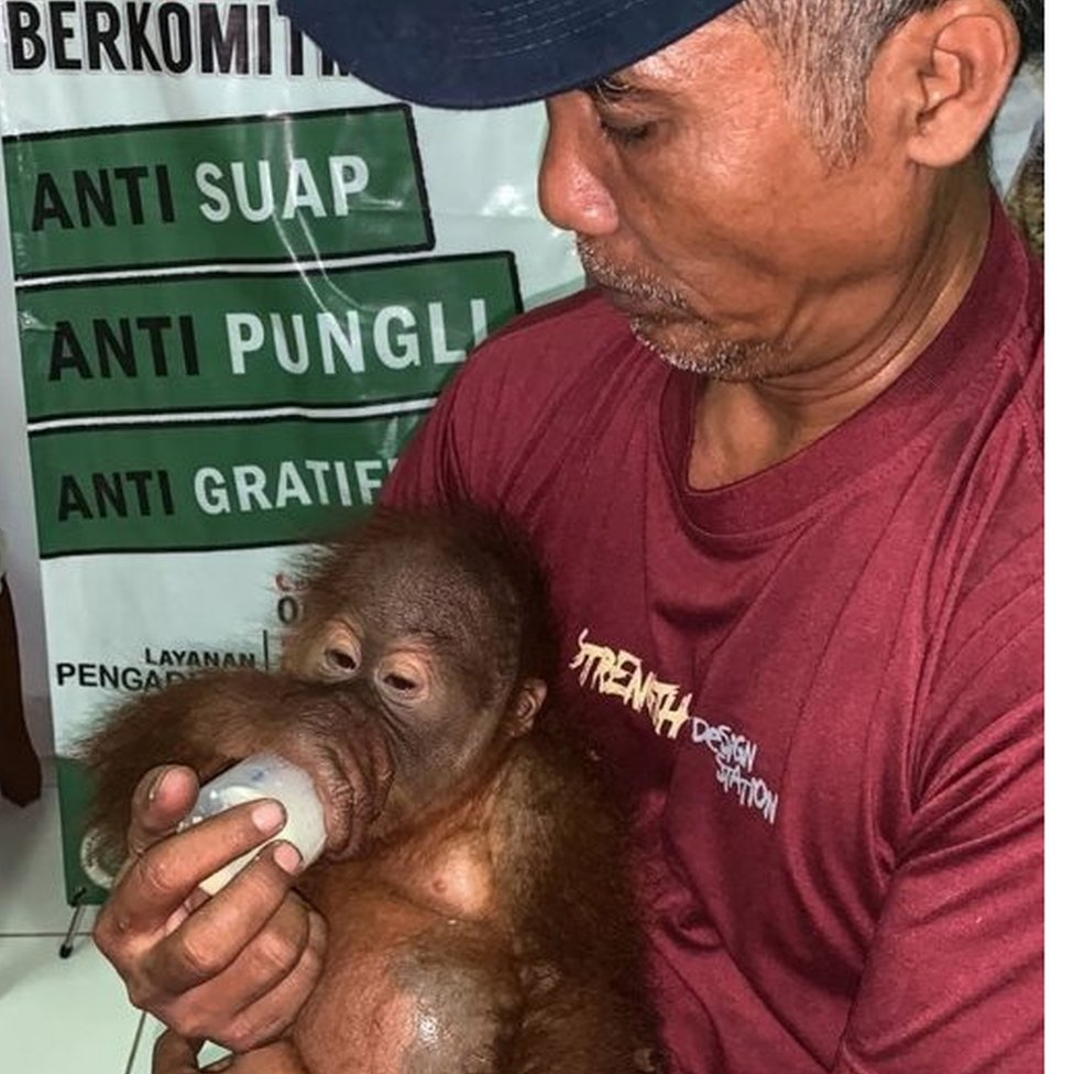 A young orangutan seized while being smuggled through Denpasar airport in Bali, 23 March 2019
