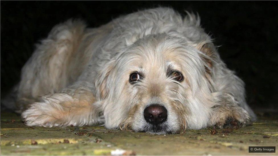 人們已經開始用無聊感來診斷寵物狗,這顯然會導致破壞性行為。(Credit: Getty Images)