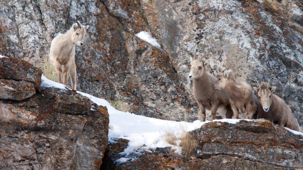 Cuatro cabras de montaña en una cornisa rocosa.