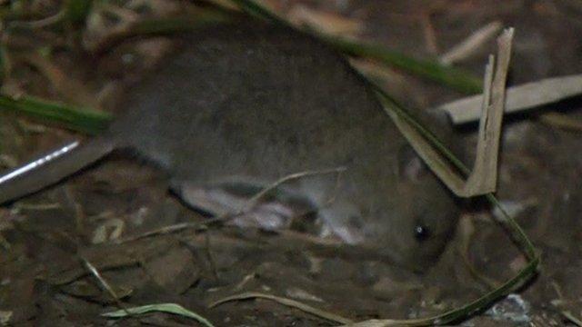 New York City is tackling a rat problem