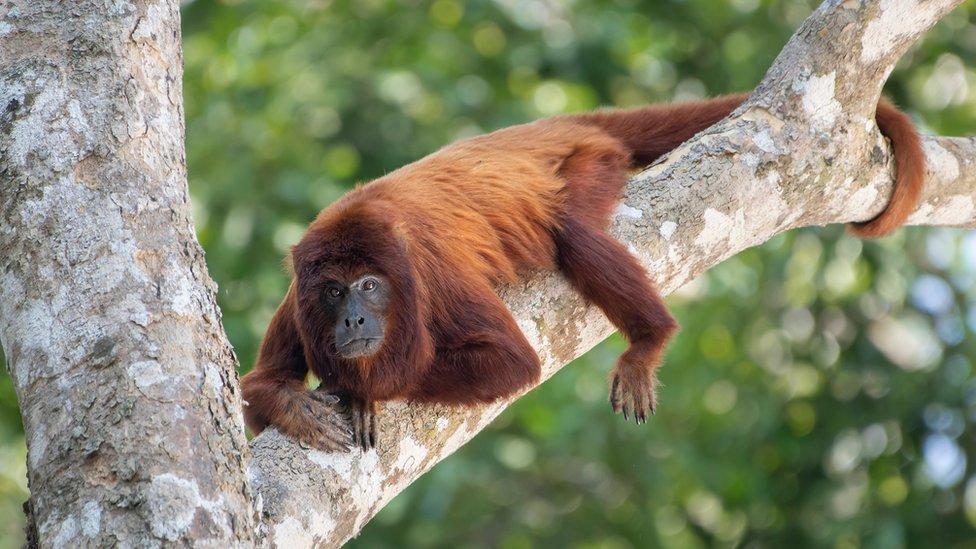 Alouatta sara, mono aullador rojo boliviano o coto