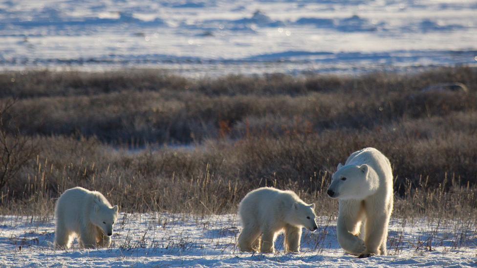 Polar bears in Arctic summer