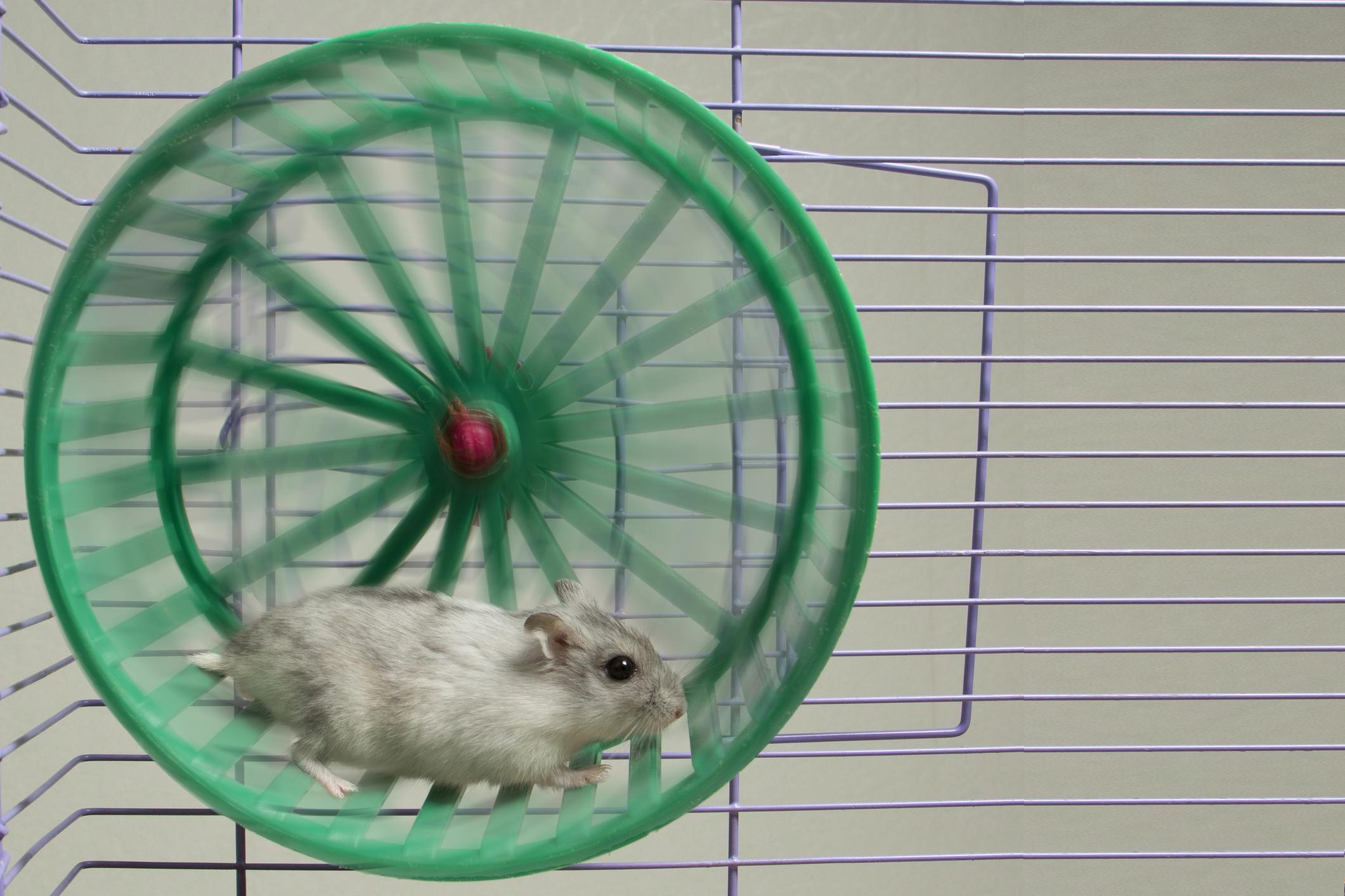 Hamter en una rueda.